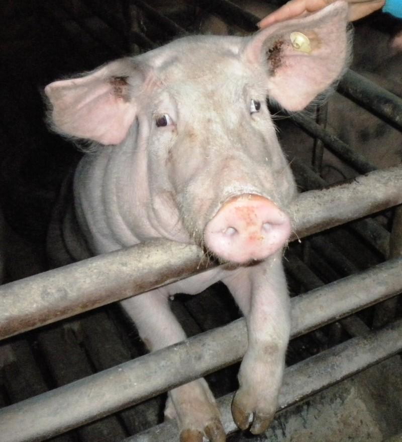 Schwein in KZ-Haltung