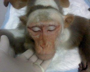 Tierversuch mit Affe