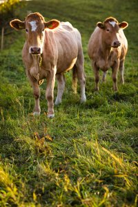 17662058 - cows grazing on a lovely green pasture