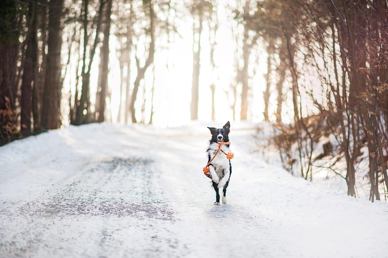 Cauda equina Syndrom und Bandscheibenvorfälle beim Hund ...